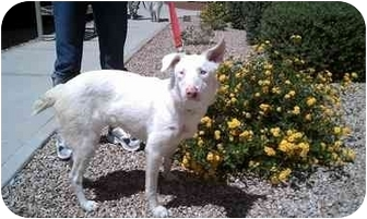 Australian Shepherd Mix Dog for adoption in Mesa, Arizona - Paris