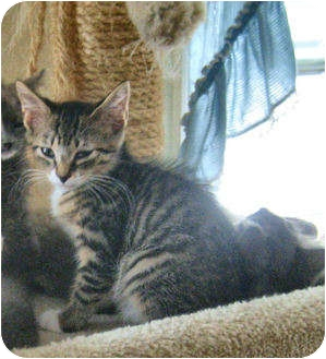 Domestic Shorthair Kitten for adoption in Colmar, Pennsylvania - Kendal