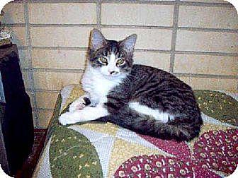 Domestic Shorthair Cat for adoption in Thibodaux, Louisiana - Nancy Grace FE1-8598