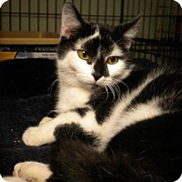Domestic Shorthair Cat for adoption in Columbus, Ohio - Posh