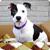 Adopt A Pet :: Kali - Detroit, MI