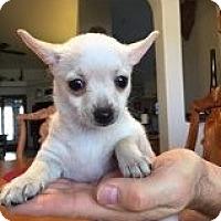 Adopt A Pet :: Bambi's Dancer - Las Vegas, NV