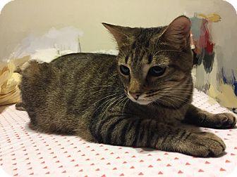 Domestic Shorthair Cat for adoption in Addison, Texas - Bella