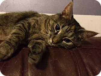 Domestic Mediumhair Cat for adoption in Salisbury, North Carolina - Gracie