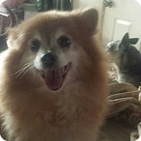 Adopt A Pet :: Fluffy - Awesome Pom Girl! - Quentin, PA