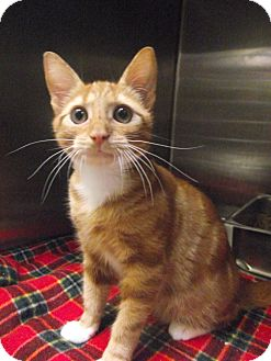 Domestic Shorthair Kitten for adoption in Chambersburg, Pennsylvania - Viper