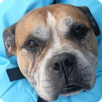 Adopt A Pet :: MAJOR - Coudersport, PA