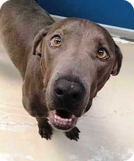 Weimaraner/Blue Lacy/Texas Lacy Mix Dog for adoption in Bryan, Texas - Pluto
