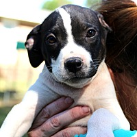 Adopt A Pet :: Doughboy - Glastonbury, CT