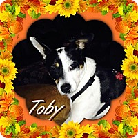 Terrier (Unknown Type, Medium)/Rat Terrier Mix Dog for adoption in Genoa City, Wisconsin - Toby 14 pounds