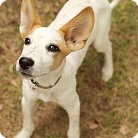 Adopt A Pet :: Dexter Two - Plainfield, CT
