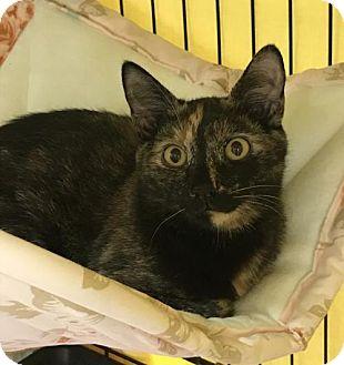 Domestic Shorthair Cat for adoption in Furlong, Pennsylvania - Fern