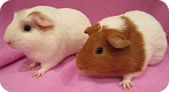Guinea Pig for adoption in Steger, Illinois - Smoochums