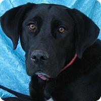 Labrador Retriever Mix Dog for adoption in Cuba, New York - Erin Bassett Buddy