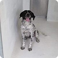 Pointer Dog for adoption in Staunton, Virginia - Lady