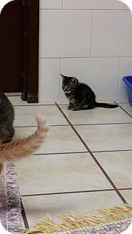 Domestic Mediumhair Kitten for adoption in Chippewa Falls, Wisconsin - Olie