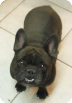 French Bulldog Dog for adoption in Flanders, New Jersey - Cricket