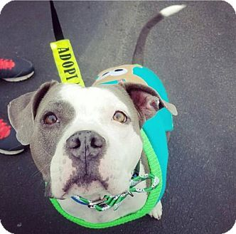 American Pit Bull Terrier/American Staffordshire Terrier Mix Dog for adoption in Colonial Heights, Virginia - Biscuit