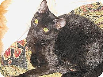 Domestic Shorthair Cat for adoption in Auburn, California - Casey