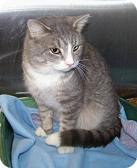 Domestic Shorthair Cat for adoption in Dover, Ohio - Hastings
