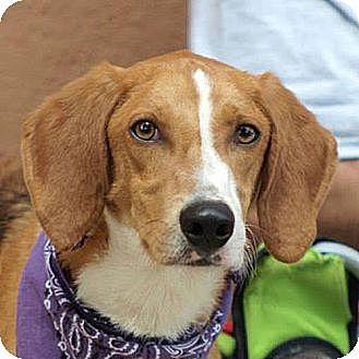 Collie/Hound (Unknown Type) Mix Dog for adoption in Fairfax, Virginia - Seymour