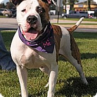 American Pit Bull Terrier Mix Dog for adoption in Calumet City, Illinois - URGENT-HOME NEEDED Serenity