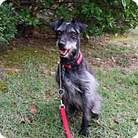 Adopt A Pet :: Gidget - North Little Rock, AR