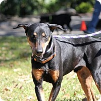 Doberman Pinscher/Hound (Unknown Type) Mix Dog for adoption in Houston, Texas - Levi