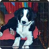 Australian Shepherd Puppy for adoption in Stratford, Oklahoma - Topsy