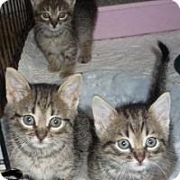 Adopt A Pet :: PixieBob/Bengal mix kittens - Dallas, TX