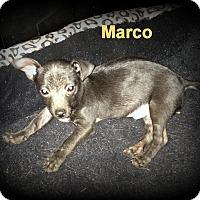Adopt A Pet :: Marco - Denver, NC