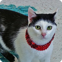 Domestic Shorthair Cat for adoption in Chambersburg, Pennsylvania - Kaye