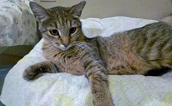 Domestic Shorthair Cat for adoption in Diamondville, Wyoming - Lincoln