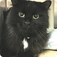 Domestic Longhair Cat for adoption in New York, New York - Pookie (Manhattan)