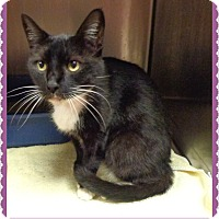 Domestic Shorthair Cat for adoption in Marietta, Georgia - CARLA