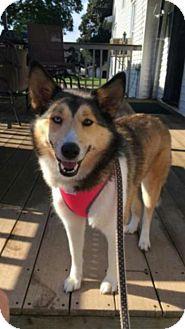 Husky Mix Dog for adoption in Cedar Rapids, Iowa - Courtesy Listing- Shelby
