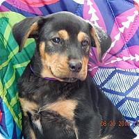 German Shepherd Dog/Rottweiler Mix Puppy for adoption in Burlington, Vermont - Champ (7 lb) Video!