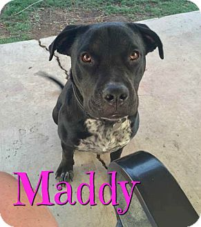 Labrador Retriever/American Pit Bull Terrier Mix Dog for adoption in Scottsdale, Arizona - Maddy
