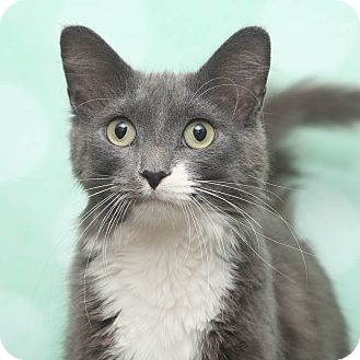 Domestic Longhair Cat for adoption in Chippewa Falls, Wisconsin - Islandia