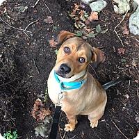 Adopt A Pet :: Hercules - Norwalk, CT