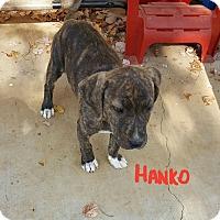 Adopt A Pet :: Hanko - Hopkinton, MA