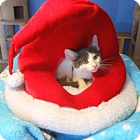 Adopt A Pet :: Kris Kringle - Glendale, AZ