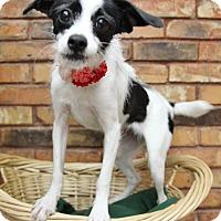 Adopt A Pet :: Stella - Benbrook, TX
