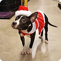 Terrier (Unknown Type, Medium) Mix Dog for adoption in Detroit, Michigan - Chelsea