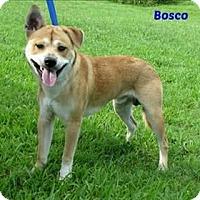 Adopt A Pet :: Bosco - Lake Jackson, TX