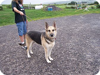 German Shepherd Dog Dog for adoption in Tully, New York - GUNNER