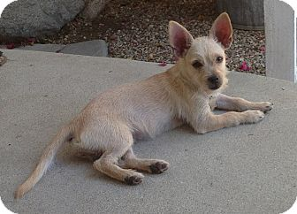 Terrier (Unknown Type, Small)/Norfolk Terrier Mix Puppy for adoption in Studio City, California - Honey