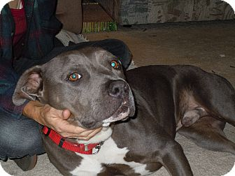 American Pit Bull Terrier Mix Dog for adoption in San Diego, California - Magnum