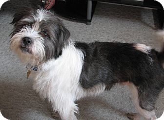 Shih Tzu/Border Terrier Mix Dog for adoption in Indianapolis, Indiana - Ozzie