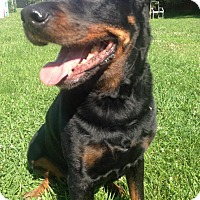 Rottweiler Dog for adoption in Xenia, Ohio - Carl